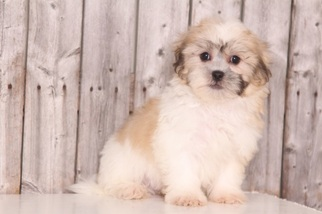 Mal-Shi Puppy For Sale in MOUNT VERNON, OH