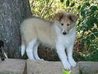 Collie Puppy For Sale in HARRISVILLE, MI, USA
