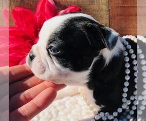 Boston Terrier Puppy for sale in FOYIL, OK, USA