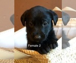 Small #1 Labrador Retriever