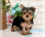 Small #1 Yorkshire Terrier