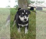 Puppy 6 Labrador Retriever-Siberian Husky Mix