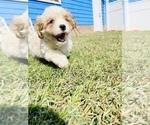 Puppy 4 Cava-Tzu