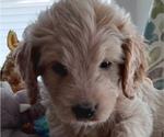 Puppy 2 Bernedoodle-Goldendoodle Mix