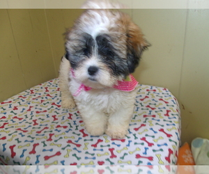 Shih Tzu Dog for Adoption in PATERSON, New Jersey USA