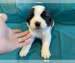 Puppy 7 Saint Bernard