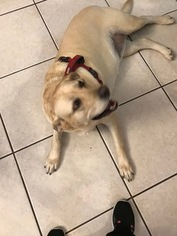 Labrador Retriever Dog For Adoption in GRAY, LA, USA