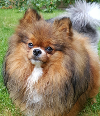 Mother of the Pomeranian puppies born on 10/13/2016