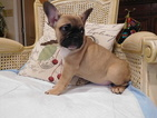 French Bulldog Puppy For Sale in GAITHERSBURG, MD