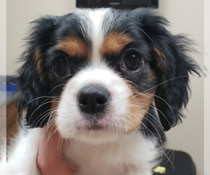 Cavalier King Charles Spaniel Puppy for Sale in ALVARADO, Texas USA