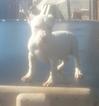 American Pit Bull Terrier Puppy For Sale in PHOENIX, AZ