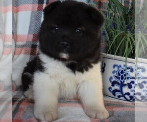 Akita Puppy for sale in PARADISE, PA, USA