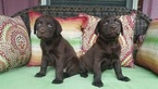 Labrador Retriever Puppy For Sale in CULPEPER, VA, USA