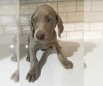 Puppy 7 Weimaraner