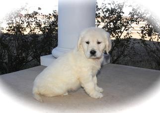 Golden Retriever Puppy For Sale in KRUM, TX, USA