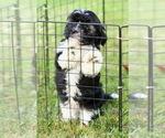 Puppy 1 Havanese