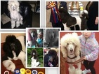 Poodle (Standard) Puppy For Sale in ROUND ROCK, TX,