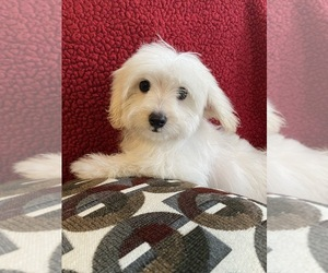 Maltese-Poodle (Toy) Mix Puppy for sale in RICHMOND, IL, USA