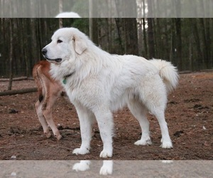 Father of the Great Pyrenees puppies born on 10/03/2021