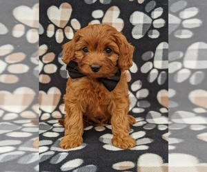 Cavapoo Puppy for sale in ATGLEN, PA, USA