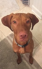Vizsla Puppy For Sale in VIRGINIA BEACH, VA