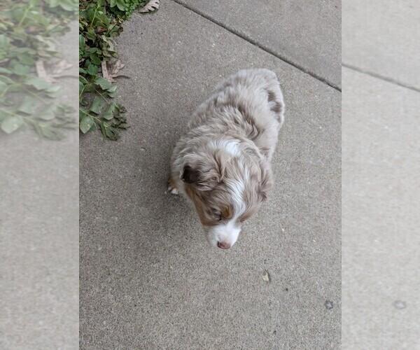 Medium Photo #1 Australian Shepherd Puppy For Sale in NIANGUA, MO, USA