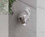 Small Photo #1 Australian Shepherd Puppy For Sale in NIANGUA, MO, USA