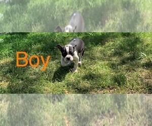 Boston Terrier Puppy for sale in CLARE, IL, USA