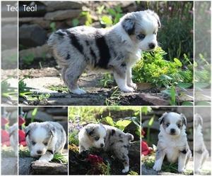 Miniature Australian Shepherd Puppy for sale in ENTIAT, WA, USA