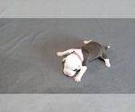 Small #3 American Pit Bull Terrier