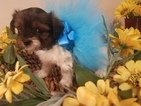 Shorkie Tzu Puppy For Sale in FARMINGTON, MO, USA