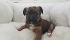 Shorkie Tzu Puppy For Sale in LA MIRADA, CA, USA