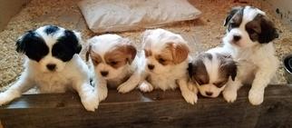 Cava-Chin Puppy For Sale in HENNIKER, NH, USA