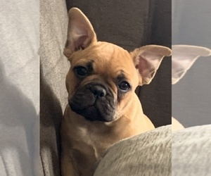 French Bulldog Puppy for Sale in SIOUX FALLS, South Dakota USA