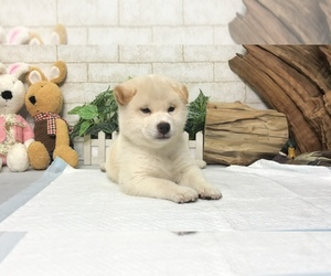 Shiba Inu Puppy for sale in WASHINGTON, DC, USA