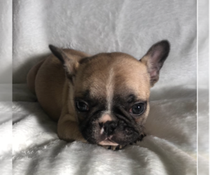 French Bulldog Puppy for sale in BARSTOW, CA, USA