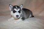 Puppy 5 Alaskan Husky-Pomeranian Mix