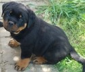 Rottweiler Puppy For Sale in MASSILLON, OH, USA