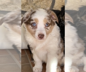 Australian Shepherd Puppy for sale in MINERAL WELLS, TX, USA