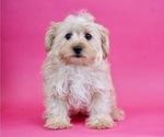 Puppy 10 Morkie