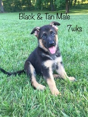 German Shepherd Dog Puppy For Sale in COLUMBIA, MO, USA
