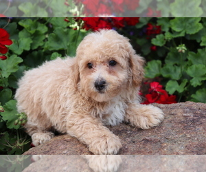Bichpoo Puppy for sale in SHILOH, OH, USA