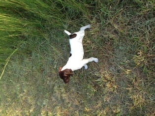 German Shorthaired Pointer Puppy For Sale in WARDENSVILLE, WV, USA