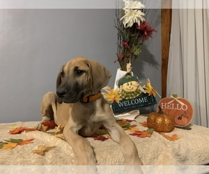 Great Dane Dog for Adoption in PONTIAC, Illinois USA