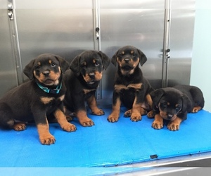 Rottweiler Puppy for sale in LANSDALE, PA, USA