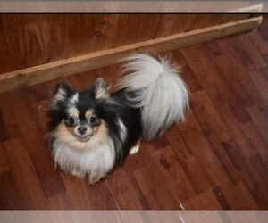Mother of the Pomeranian puppies born on 06/29/2020