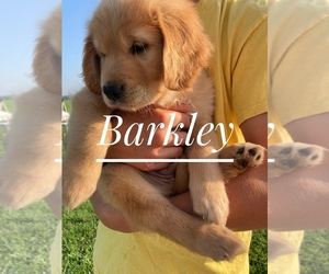 Golden Labrador Puppy for sale in CLINTONVILLE, WI, USA