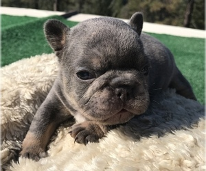 French Bulldog Puppy for sale in PLACERVILLE, CA, USA