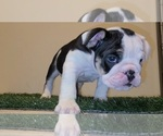 Puppy 1 English Bulldog
