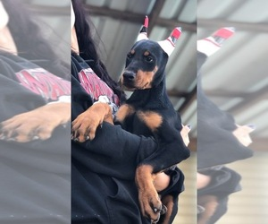 Doberman Pinscher Puppy for Sale in WEST MONROE, Louisiana USA